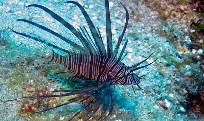 morski-paun-709x420.jpg