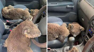 Тинејџери во Австралија спасуваат повредени коали во пожарите