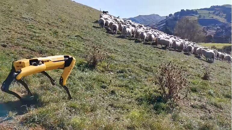 Огромна помош кога станува збор за водење овци на пасиште.